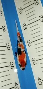 0465-Ferdi fbkoi-tangerang-ferdi fbkoi-tangerang-showa-12cm-female-lokal