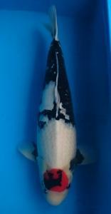 0182-Hendri Usman-medan-tomodachi-bogor-Tancho-78cm-female-import