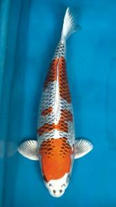 0866-Dogama Jr-Dogama Jr-Jakarta-Hikarimoyo-60 cm-Female-import