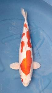 0865-Dogama Jr-Dogama Jr-Jakarta-Hikarimoyo-57 cm-Female-import