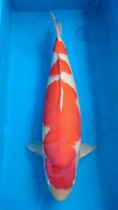 0179-Hendri Usman-medan-tomodachi-bogor-kohaku-80cm-female-import