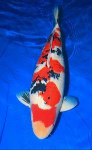 0461-Andy yufan -jakarta- ricky-jakarta- sanke -80cm -female -import