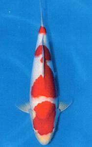 0123-Agustiono Kusumadi-Kudus-Twin Koi-Garut-Kohaku-58 cm