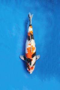 0521-Nirwana Koi-Jkt-Ginrin A-55cm