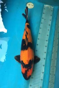 0681-slamet kurniawan-jakarta koi center-jakarta-hikiutsurimono-53cm