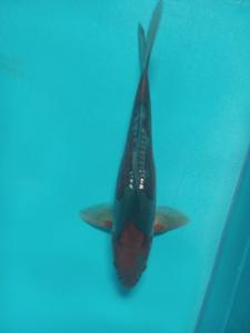 0737-Robin koi - blitar -  bkc -  blitar - kawarimono -  30cm - male - lokal
