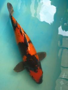 0476-Dr Priche-cibubur- FnF - Hi utsuri  45cm- male