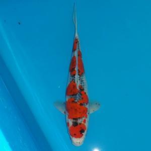 0319-Dogama Jr-jakarta-gang koi-solo-goshiki 32cm lokal